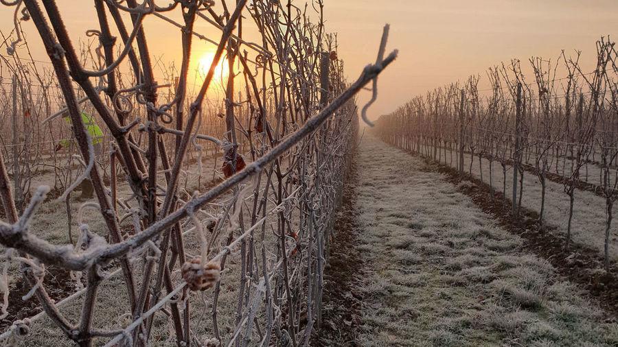 Gusbourne Winter Vineyards