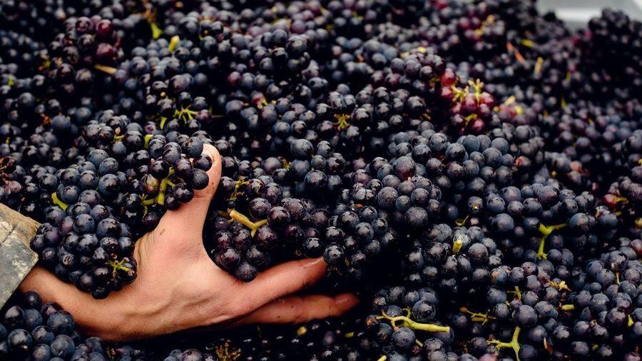 Gusbourne Grape Harvest